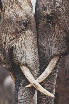 Elephants are considered to be one of the most closely knit communities of mammals.