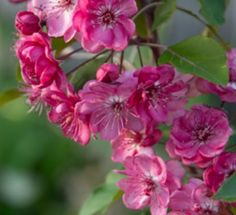 Image result for malus Wychwood Ruby