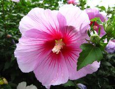Rosa de Siria, Hibiscus syriacus