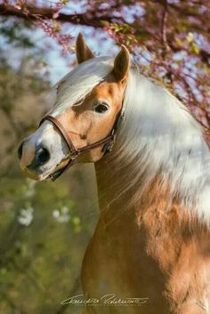 ♥ A haflinger, a warmblood, an Icelandic horse-Norwegian mix and a trotter - the . Most Beautiful Horses, All The Pretty Horses, Cute Horses, Horse Love, Horse Photos, Horse Pictures, Beautiful Creatures, Animals Beautiful, Animals And Pets