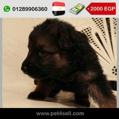 مصر، القاهرة  كلاب جيرمن شيبرد بكسحه و بيور و لونج هير و 45 يوم للبيع. #pet4sell