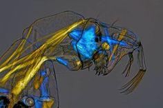 gusanos de cristal Los gusanos de cristal o Chaoborus se llaman así precisamente porque su organismo es translúcido, lo que los hace muy difíciles de ver en los lagos donde viven. Charles Krebs, de Washington, utilizó diferentes tipos de iluminación al microscopio para poder obtener esta foto