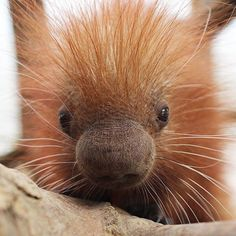 An adorable prehensile-tailed porcupine named Clover was born on St. Patrick's Day at the Binghamton Zoo in New York, and it's too cute to handle. | This Baby Porcupine Looks So Soft That You'll Want To Hug It - BuzzFeed News
