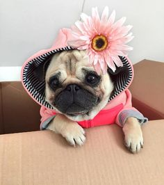 """11 mil Me gusta, 183 comentarios - Loulou the Pug (@pugloulou) en Instagram: """"Special pug delivery """""""