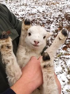 Baby Lamb Throws Legs Out While Being Held | Happy Place