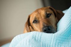 Getting to the Core of It: All About the Distemper Vaccine | Deer Creek Animal Hospital Blog
