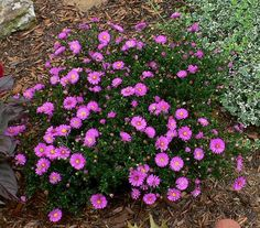 Aster novi-belgii 'Alert'          New York Aster, Michaelmas Daisy. I have these and white ones, short