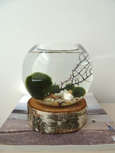 Marimo Moss Ball Aquarium. Birthday gift for David? He'd really like this on his work desk, I'll bet.