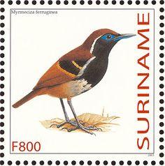 Suriname 2003 - El Hormiguero Ferruginoso. Su área de cría se extiende por Brasil, Guayana francesa, Guyana, Suriname y Venezuela. Su hábitat natural son los bosques húmedos tropicales o subtropicales de las tierras bajas.