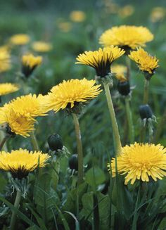 DANDELION.  The easiest to recognize if the dandelion, in the spring they show their bright yellow buds. You can eat the entire thing raw or cook them to take away the bitterness, usually in the spring they are less bitter. They are packed with Vitamin A and Vitamin C, and beta carotene.