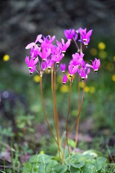 Dodecatheon hendersonii (aka Henderson's Shooting Stars)- my favorite wildflower and a native to California