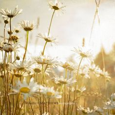 Glowing Daisies - Photography Print by Maleah Torney.