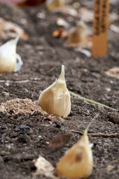 Planting Garlic ::  Chiot's Run- I have never heard of soaking in fish emulsion before.  Mine usually do well, I'll have to pay more attn and try this if all don't sprout this spring.