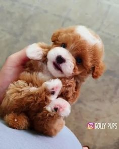 Tiny Puppies, Teacup Puppies, Cute Dogs And Puppies, Cutest Dogs, World Cutest Dog, Cute Funny Animals, Cute Baby Animals, Yorkshire Terrier, Cute Little Dogs