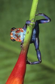 ☆ Strawberry Poison Frog, Costa Rica :¦: Gail Melville Shumway Photography ☆