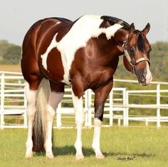 I know this horse :) John Simon, 2006 Paint stallion (Special Invitation x Sensational Leaguer) American Paint Horse, American Quarter Horse, All The Pretty Horses, Beautiful Horses, Animals Beautiful, Reining Horses, Appaloosa Horses, Breyer Horses, Quarter Horses
