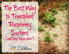 Get free plants by transplanting raspeberry suckers! Here's how to do it and - Raspberries - Ideas of Raspberries - Get free plants by transplanting raspeberry suckers! Here's how to do it and keep them alive! Gardening Raspberries, Growing Raspberries, Strawberries, Blackberries, Raspberry Bush, Raspberry Plants, Fruit Garden, Vegetable Garden, Garden Plants