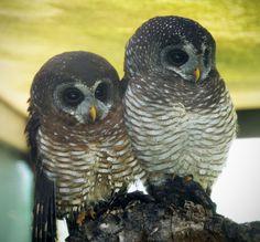 Owl,_African_Wood_SofiaSophia.jpg (JPEG Image, 862×800 pixels) - Scaled (80%)