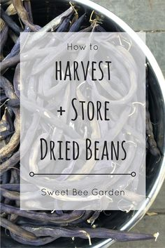 Dried beans are a super easy addition to the garden and a great staple in the kitchen. Read more to learn how to harvest and store your dried beans! | Sweet Bee Garden
