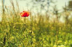 little red by Zoltán Ferkó on YouPic Little Red, Dandelion, My Photos, Nature, Flowers, Plants, Naturaleza, Dandelions, Plant