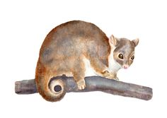 Ringtail Possum Print, Watercolour Possum Print, Australian Marsupial Animal, Long Tail Possum, Cute Animal Illustration by BreezyBirdGoodies on Etsy