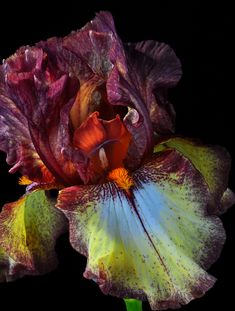 Iris Colors by Bill Gracey Iris Flowers, All Flowers, Exotic Flowers, Amazing Flowers, Planting Flowers, Beautiful Flowers, Flowers Nature, Irises, Iris Garden