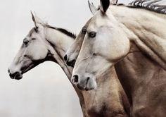 Horses, heste, animals, beauty, beautiful, gorgeous, photo
