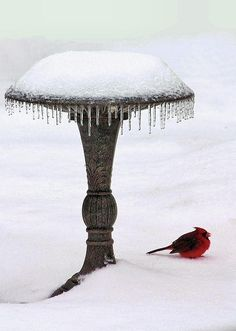 .how pretty is this Cardinal on a sea of white? RP by splashtablet.com, the cool iPad for showering with your tablet ;)