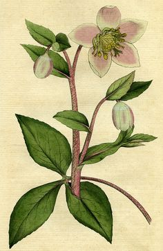 https://flic.kr/p/v2M6fx | Livid or purple hellebore, helleborus lividus | Livid or purple hellebore, helleborus lividus, illustration from a book published by William Curtis in 1787.   ACM907.6.4  DPABRH66