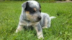 Austrailian cattle dog(: My dog is part austrailian cattle dog mixed with German Shepard(: SO CUTE
