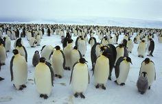 Científicos localizan la más grande colonia de pingüinos emperador.  La Antártida, con su clima inhóspito, sigue siendo una fortaleza difícil de penetrar para el hombre.   No obstante, el pingüino emperador hace del hielo su hogar. Conocer el número y la distribución de éstos increíbles animales había sido un gran reto, hasta ahora. Gracias a la tecnología satelital se ha descubierto  la colonia de pingüinos emperador más grande jamás vista.