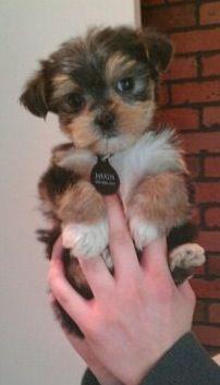 Cute yorkie puppy!! looks a bit like when my puupy was new! Sokkies!