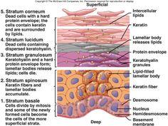 Integumentary (Skin) anatomy