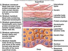 Types of connective tissue in the human body | histology | Pinterest ...