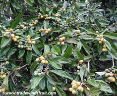 LOQUAT - Eriobotrya japonica - a.k.a. Japanese Plum, Japanese Medlar - Orange-yellow, fleshy fruit, usually with one or two large seeds, and a delicious sweet flavor, sometimes akin to an apricot.