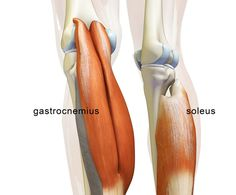 """Big Thanks to everyone for your comments on Facebook for our """"Muscle of the Week: The Soleus."""" In this blog post we take a look at this musc..."""