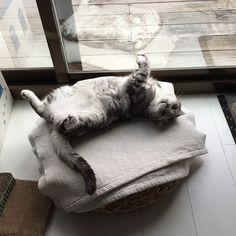 #cat #cats #meow #mao #macbookproretina #tabby #tbt #instakitten #instacat #catstagram #tiger #TigerRepublic #Didi #furkid #pet #scottishfold ##neko #mao #貓 #貓咪 #ねこ #americanshorthair #catlover #catlady #caturday #Mimi #Huz #naturalbalance