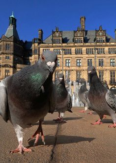 Giant Pigeons - watch your head when they take to the sky....lol