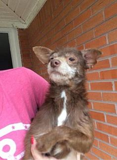 Pictures of Minnie (TX) a Chihuahua for adoption in New York, NY who needs a loving home.