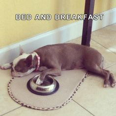 A Dog's Bed And Breakfast Sleeping with the Food Bowl. http://www.bterrier.com/bed-and-breakfast-dog-sleep-with-the-food-bowl/  Like & Share on Facebook : https://www.facebook.com/bterrierdogs
