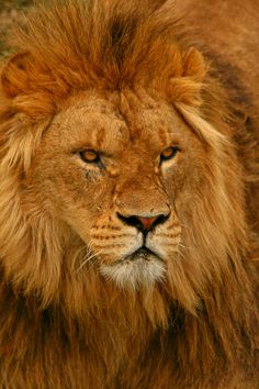 A lion with a very intense look going on there.