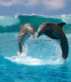 Florida Dolphins | Fun and games: Dolphins love to play with each other but anacrobatic ...