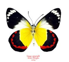 Delias timorensis is a pretty example of the very large Delias group of butterflies. The coloration is on the underside, as is the case with many Delias.