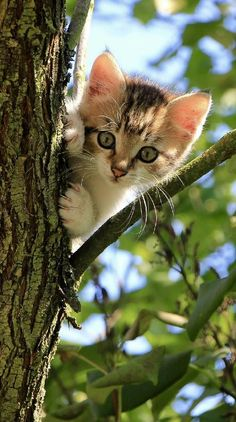 Cats and kittens quickly go from cute to annoying. Annoying is when kitty scratches the furniture. Here's 3 Tips For Training Kittens Not to Scratch. Animals And Pets, Baby Animals, Cute Animals, Animals Images, Cute Kittens, Cats And Kittens, I Love Cats, Crazy Cats, Image Chat