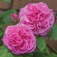 David Austin Rose Gertrude Jekyll® -