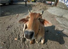 According to the Indian scientists, the precious metal was found in ionic form which is the gold salts that are soluble in water.  Post four years of extensive research, scientists at Junagadh Agriculture University (JAU) claims to have found gold in the urine of Gir cows.  The team of researchers led by Prof Balu Golakia has concurred that traces of gold are present in the urine of Gir cows. As per the research, the urine samples of 400 Gir cows were analyzed at the Food Testing Laboratory