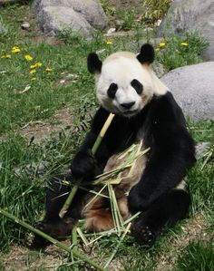 Da Mao, male panda at the Toronto Zoo.