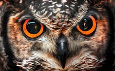 91423196 results for owl eyes Tigeraugen Tattoo, Owl Eye Tattoo, Owl Tattoo Drawings, Lion Tattoo, Owl Photos, Owl Pictures, Owl Eyes Logo, Petunia, Tribal Arm Tattoos