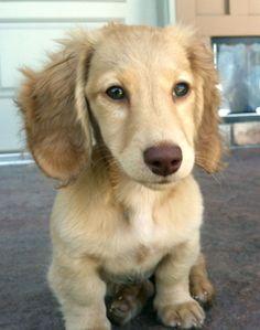 Willa - Chocolate Based Cream Longhair Dachshund Puppy