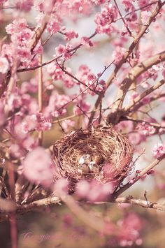 I'd love to have this within view of my dream porch.......  (Nest with eggs in cherry blossom tree. Gerogianna Lane photography)
